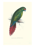 Long Billed Parakeet Macaw Enicogaathus Leptorhynchus Araucaria Print by Edward Lear