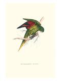 Lesser Maton's Parakeet -Trichoglossus Haematodus Kunst von Edward Lear