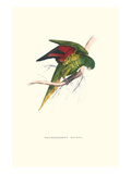 Lesser Maton's Parakeet -Trichoglossus Haematodus Posters by Edward Lear