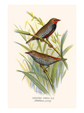 Painted Finch Prints by F.w. Frohawk