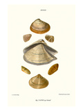 Wedge Shells Prints by John Mawe