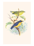 Violet Tanager Poster by F.w. Frohawk