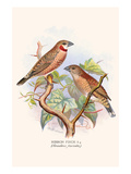Ribbon Finch or Cut Throat Finch Posters by F.w. Frohawk
