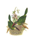 Groove Billed Toucanet Prints by John Gould