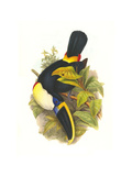 Cuvier's Toucan Prints by John Gould