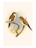 Indian Silver Bill and African Silver Bill Print by F.w. Frohawk