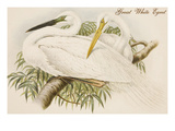 Great White Egret Prints by John Gould