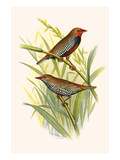 Painted Finch Premium Giclee Print by F.w. Frohawk