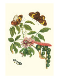 Leguminous Plant with a Sophorae Owl Caterpillar and an Aegle Clearwing Butterfly Premium Giclee Print by Maria Sibylla Merian