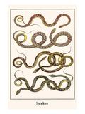 Snakes Print by Albertus Seba