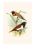 Chestnut Breasted Finch and Three Colored Mannikin Posters by F.w. Frohawk