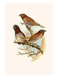 Spice Bird Prints by F.w. Frohawk