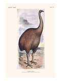 Diornis Ingens Prints by Lionel Walter Rothschild