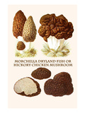 Morchella Dryland Fish or Hickory Chicken Mushroom Art by L. Dufour