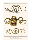 Snakes, Blunt Headed Tree Snake Prints by Albertus Seba