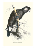 Baudine's Cockatoo - Calyptorhynchus, Funereus Baudini Kunstdruck von Edward Lear