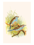 Cordon Bleu or Crimson Eared Waxbill Prints by F.w. Frohawk