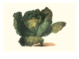 Cabbage Head Posters by Philippe-Victoire Leveque de Vilmorin