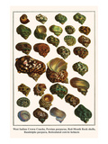 West Indian Crown Conchs, Persian Purpuras, Red-Mouth Rock Shells, Randolphs Purpura, etc. Posters by Albertus Seba
