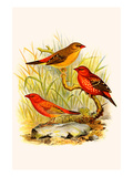 Common Amaduvade and African Fire Finch Premium Giclee Print by F.w. Frohawk