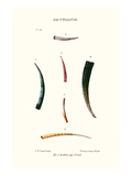 Tooth Shells Prints by John Mawe