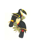 Yellow Ridged Toucan Photo by John Gould