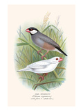 Java Sparrow Posters by F.w. Frohawk