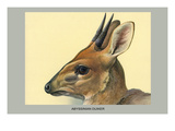 Abyssinian Duiker Print by Louis Agassiz Fuertes