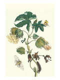 Contton Plant, Moths and Butterflies Art by Maria Sibylla Merian