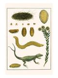 Sea Mice, Bristleworm, Whake Lice, Isopod, Lizard and Sunflower Print by Albertus Seba