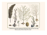 Cnidarians, Hydroid, Bottlebrush Hydroids, Pink Sea Fan, Sea Whip, Thorny Oyster, Flower Head, etc. Posters by Albertus Seba