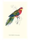 Stanley Parakeet Male - Platycercus Icterotis Poster von Edward Lear