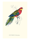 Stanley Parakeet Male - Platycercus Icterotis Prints by Edward Lear