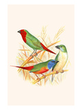 Parrot Finch Posters by F.w. Frohawk
