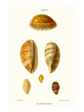 Cowrie Shells Prints by John Mawe