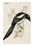 Magpie Prints by John Gould