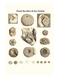 Fossil Sea Stars and Sea Urchins Prints by James Parkinson