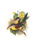 Red Necked or Double Collared Aracari Poster by John Gould