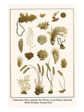 Cnidarians, Moss Animals, Sea Worm, Coral Weeds, Hydroid, Bottle Brushes, Serpent Star Posters by Albertus Seba