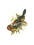 Golden Collared Toucanet Art by John Gould