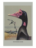 Spur Winged Goose Poster by Louis Agassiz Fuertes
