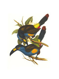 Plate Billed Mountain Toucan Posters by John Gould