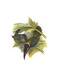 Guianan Toucanet Prints by John Gould