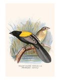 Yellow Backed Whydah Prints by F.w. Frohawk