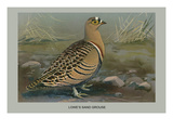Lowe's Sand Grouse Posters by Louis Agassiz Fuertes