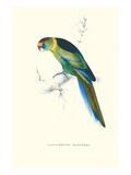 Barnard's Parakeet - Barnardius Zonarius Barnardi Poster von Edward Lear