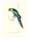 Barnard's Parakeet - Barnardius Zonarius Barnardi Prints by Edward Lear