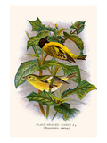 Black Headed Siskin Print by F.w. Frohawk