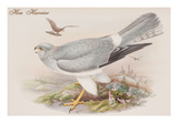 Hen Harrier Posters by John Gould