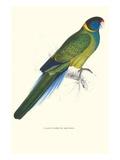 Bauer's Parakeet - Bauer Barnardius Donzarius Kunstdrucke von Edward Lear